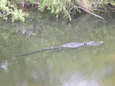 Aligator aux Everglades