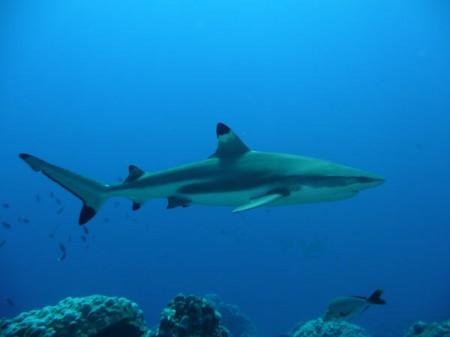 requin pointe noire à Koh Phi Phi