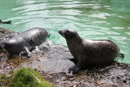 Les phoques du zoo Saint-Felicien au Canada
