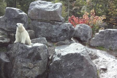 Ours Polaire au zoo Saint-Felicien au Canada
