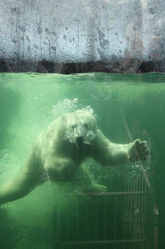 ours Polaire au zoo Saint-Felicien