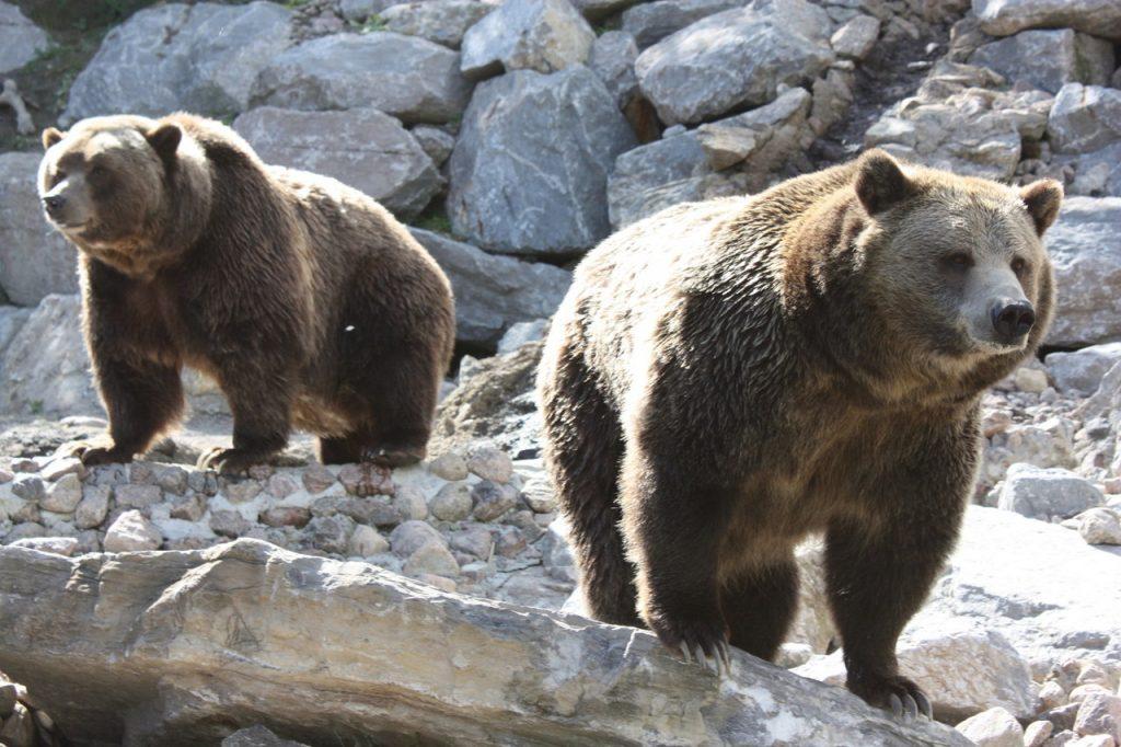 Ours Grizzly au zoo Saint-Félicien au Canada