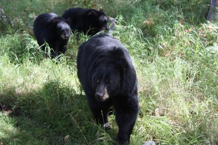Ours noirs au zoo Saint-Félicien au Canada