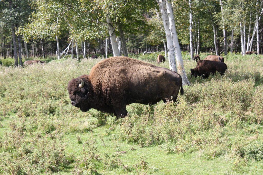 Bison au zoo Saint-Felicien