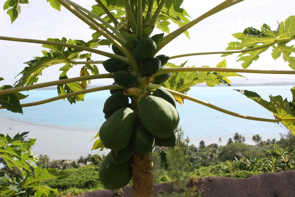 Une plantation à Bora Bora en Polynésie Française