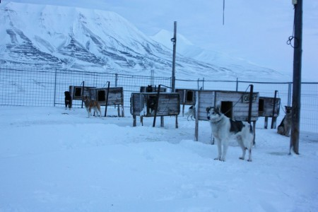 Chiens de traineau au Svalbard