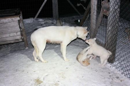 Petits Chiots au Svalbard