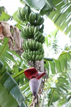 Les bananes de Vinales à Cuba