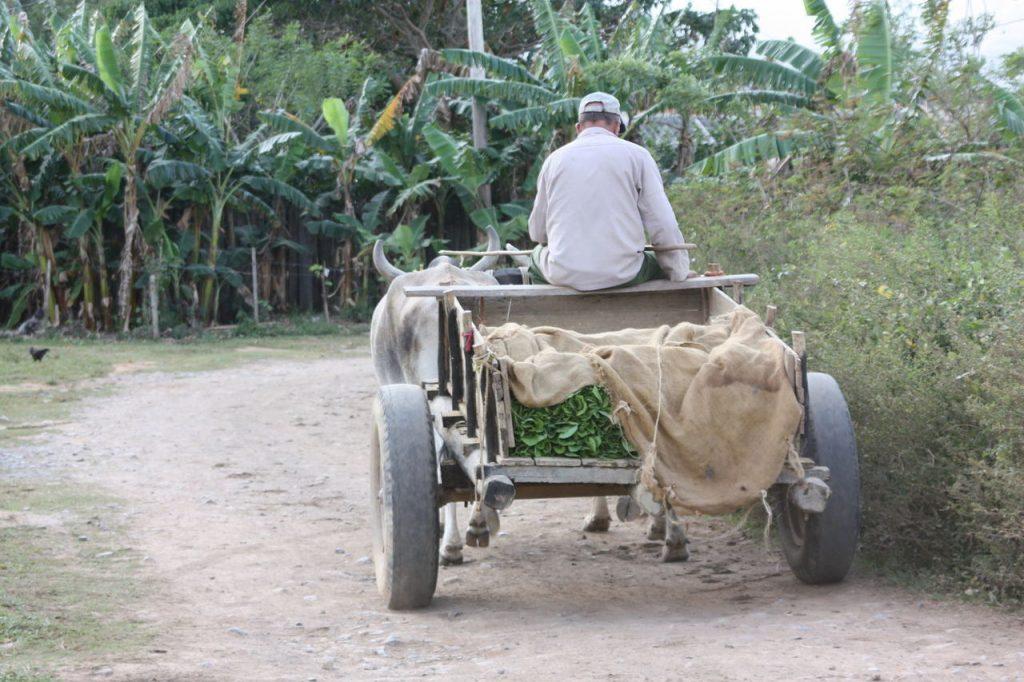 transport de tabac à Vinales à Cuba