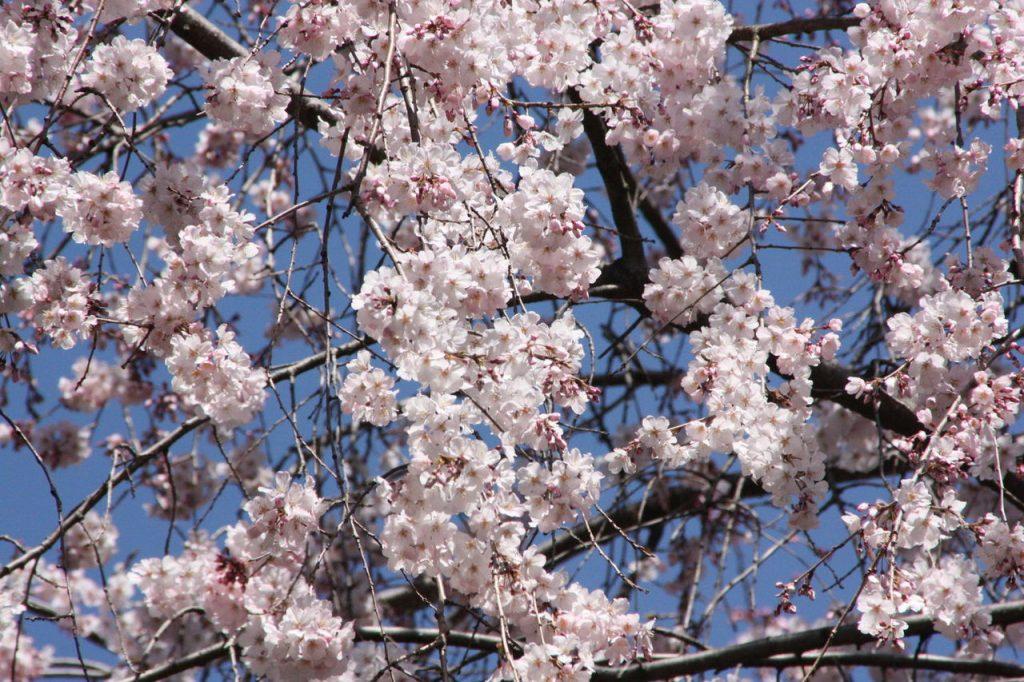 Le parc de Ueno en fleurs